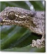 Extreme Close-up Of A Gecko In The Rain Canvas Print