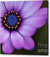 Eye Of The Daisy Canvas Print