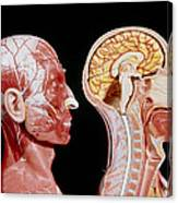 Facial Muscles And Internal Structure Of The Head Canvas Print