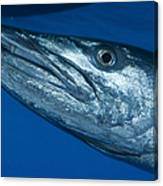 Facial View Of A Great Barracuda, Kimbe Canvas Print