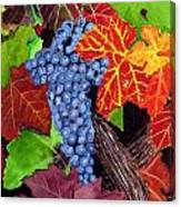 Fall Cabernet Sauvignon Grapes Canvas Print