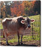 Fall Cow Canvas Print