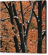 Fall Foliage Of Maple Trees After An Canvas Print
