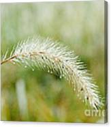 Fall Foxtail Canvas Print