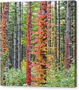 Fall Ivy On The Trees Canvas Print
