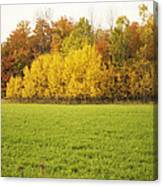 Fall Poplars Canvas Print
