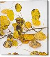 Fallen Autumn Aspen Leaves Canvas Print