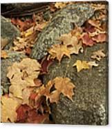 Fallen Autumn Sugar Maple Leaves Canvas Print