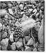 Fallen Feathers Black And White Canvas Print