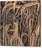 Fallen Grains Canvas Print