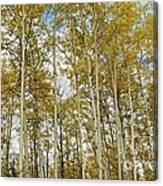 Falling For The Birch And Aspens Canvas Print