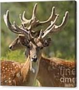 Fallow Deer Dama Dama Stags Canvas Print