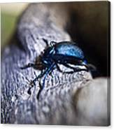 False Darkling Beetle 30 Canvas Print