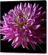 Fancy Dahlia Canvas Print