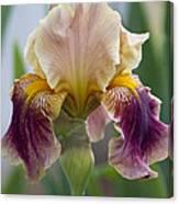 Fancy Dancy Iris Canvas Print