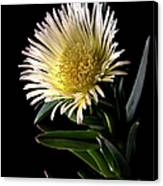 Fancy Ice Plant Canvas Print