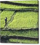 Farmer In Rice Paddy, Elevated View Canvas Print