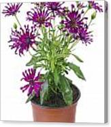 Favourite Violet Indoor Flower Canvas Print