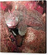Feather Blenny Female Canvas Print