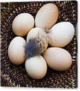 Feathered Eggs Canvas Print