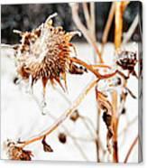 February Sunflower Canvas Print