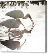 Feeding White Ibis Canvas Print
