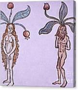 Female And Male Mandrake, Alchemy Plant Canvas Print