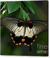 Female Asian Swallowtail Butterfly Canvas Print