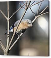 Female Bluebird Canvas Print
