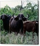 Female Cape Buffalo Syncerus Caffer Canvas Print