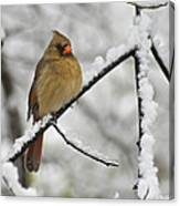 Female Cardinal 3656 Canvas Print