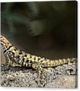 Female Desert Spiny Lizard  Canvas Print