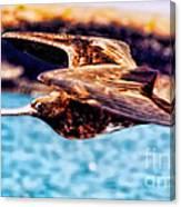 Female Frigate Bird Canvas Print