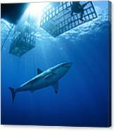 Female Great White With Cages Canvas Print