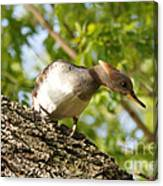 Female Hooded Merganser Canvas Print
