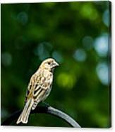 Female House Finch Perched Canvas Print