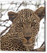 Female Leopard Close-up Canvas Print