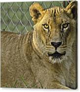 Female Lion Canvas Print