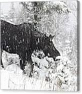 Female Moose In Snowy Forest, Gaspesie Canvas Print
