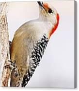 Female Red-bellied Woodpecker 2 Canvas Print