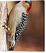 Female Red-bellied Woodpecker 5 Canvas Print