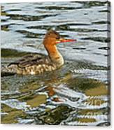 Female Red Breasted Merganser In The Spring Canvas Print