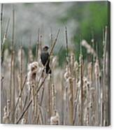 Female Redwinged Blackbird Canvas Print
