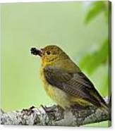 Female Summer Tanager Canvas Print