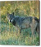 Femle Gray Wolf In The Morning Light Canvas Print
