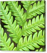 Fern Frond, Detail, Big Island, Hawaii Canvas Print