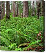 Ferns And Redwoods Canvas Print