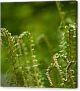 Ferns Fiddleheads Canvas Print