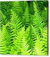 Ferns Galore Filtered Canvas Print