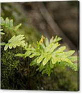 Ferns In Forest Canvas Print